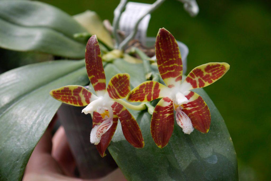 Phalaenopsis sumatrana